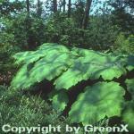 Tafelblatt - Astilboides tabularis