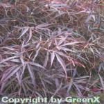 Fächer Ahorn Red Pygmy 100-125cm - Acer palmatum
