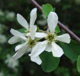 Felsenbirne Autumn Brilliance 60-80cm - Amelanchier grandiflora