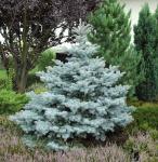 Ediths Blaufichte 80-100cm - Picea pungens