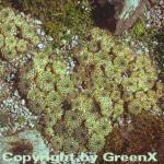 Kalkhauswurz - Sempervivum calcareum