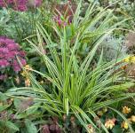 Weiß gestreife Segge - großer Topf - Carex morrowii