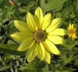 Zitronengelbe Stauden Sonnenblume - Helianthus microcephalus