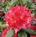 Großblumige Rhododendron Mrs. P. den Ouden 25-30cm - Alpenrose