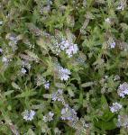 Niederliegender Garten Ehrenpreis - Veronica prostrata