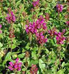 Großblütige Braunelle Inshirach Ruby - Prunella grandiflora