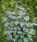 Judasblattbaum 80-100cm - Cercidiphyllum japonicum