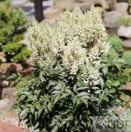 Prachtspiere Diamond and Pearls - Astilbe arendsii