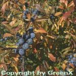 Schwarzdorn 60-80cm - Prunus spinosa
