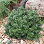 Zwerg Koreatanne Brillant 50-60cm - Abies koreana