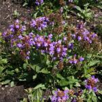 Großblütige Braunelle Rosea - Prunella grandiflora