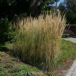 Reitgras Waldenbuch - Calamagrostis acutiflora