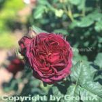 Englische Rose Othello® 30-60cm