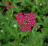 Schafgarbe Serenade - Achillea millefolium
