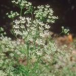 Anis - Pimpinella anisum