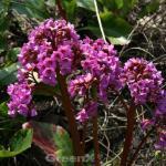 Altei Bergenie - Bergenia cordifolia