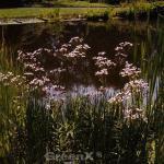 Blumenbinse Schneeweißchen - Butomus umbellatus