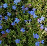 Steinsamen Heavenly Blue - Lithodora diffusa