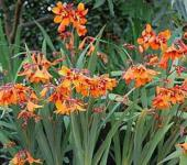 Garten Monbretie Emily Mc Kenzie - Crocosmia masoniorum