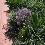 Zierlauch Summer Drummer - Allium cultorum