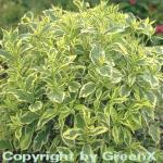 Buntblättrige Weigelie 80-100cm - Weigela florida