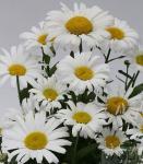 Wiesen Margerite Large White - großer Topf - Leucanthemum maximum
