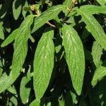 Immergrüner Zungen Schneeball Willowwood 80-100cm - Viburnum rhytidophyllum