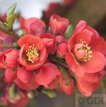 Zierquitte Cido Red 30-40cm - Chaenomeles