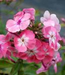 Hohe Flammenblume Bright Eyes - Phlox Paniculata