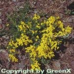 Kissenginster Geißklee 20-30cm - Cytisus decumbens