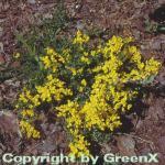 Kissenginster Geißklee 30-40cm - Cytisus decumbens