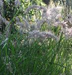Lampenputzergras Karley Rose - Pennisetum orientale