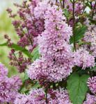 Edelflieder Minuet - Kircher-Collection 80-100cm - Syringa hyacinthiflora
