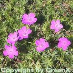 Storchenschnabel Aviemore - Geranium sanguineum
