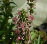 Steppendistel - Morina longifolia