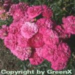 Hochstamm Rose Roxy 80-100cm