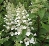 Rispenhortensie Levana® 40-60cm - Hydrangea paniculata