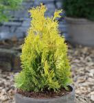 Goldgelber Lebensbaum Jantar 30-40cm - Thuja occidentalis