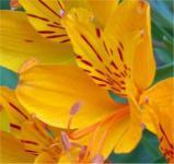 Inkalilie Orange King - Alstroemeria aurea