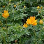 Trollblume Golden Queen - Trollius chinensis