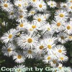 Feinstrahlaster Sommerneuschnee - Erigeron Hybrid