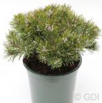 Zwerg Kiefer Minima Kalous 20-25cm - Pinus mugo