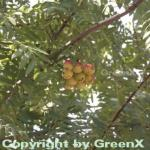 Speierling 100-125cm - Sorbus domestica
