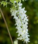 Weißer Blauregen Longissima 40-60cm - Wisteria floribunda