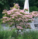 Chinesischer Blumenhartriegel Rosabella 40-60cm - Cornus kousa
