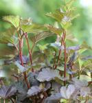 Blasenspiere Red Baron 125-150cm - Physocarpus opulifolius
