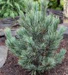 Kompakte Blauzirbelkiefer 40-60cm - Pinus cembra