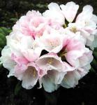 Rhododendron Edelweiß 20-25cm - Alpenrose