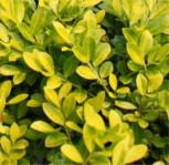 Bergilex Stechpalme Golden Rock® 30-40cm - ilex crenata