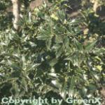 Stechpalme Ilex Heckenstar® 80-100cm - Ilex meserveae